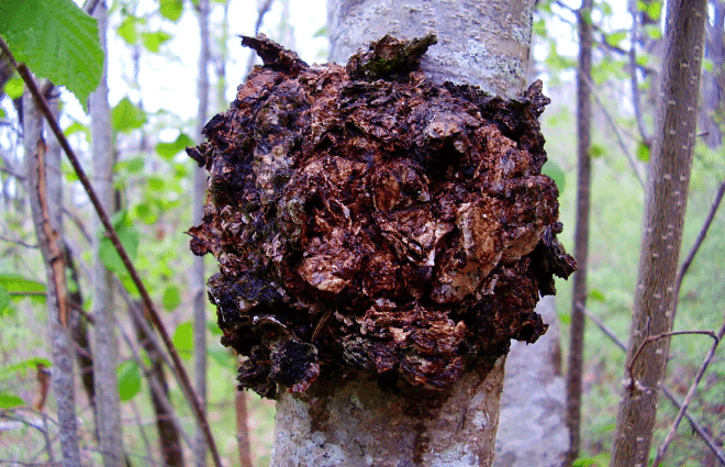 Large clump of chaga mushroom growing on tree in forest